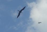 Frigate birds 500