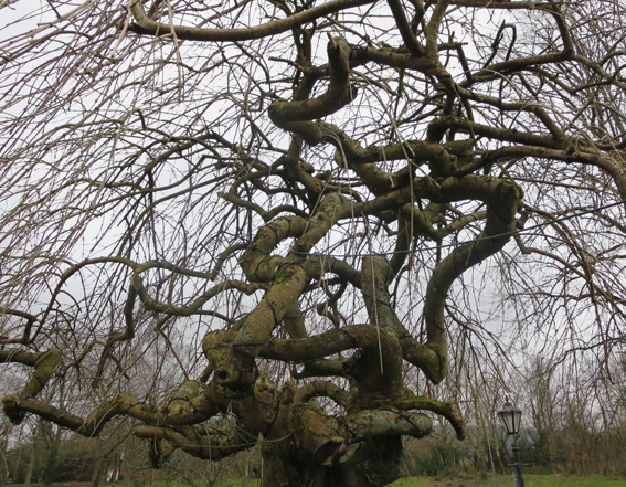 gnarled tree reduced