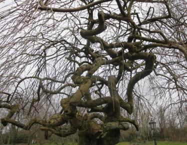 gnarled tree reduced