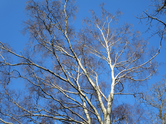 silver birch reduced