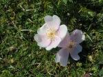 burnet roses